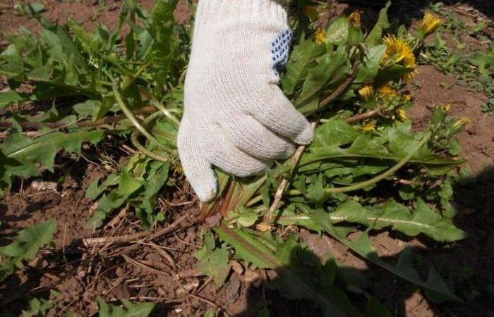 Как я научилась вытаскивать одуванчики с корнем и избавила участок от этого сорняка