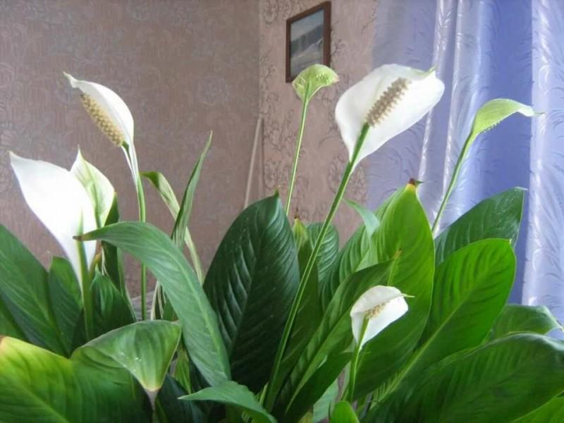 """Как я ухаживаю за """"Женским счастьем"""" в Апреле и каждый год он быстро ростет и Шикарно цветёт"""