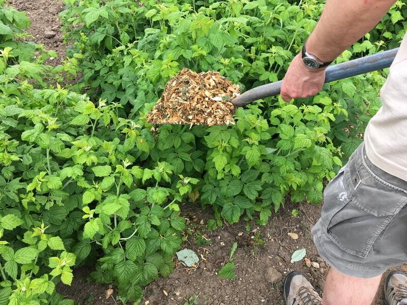 Как правильно посадить малину