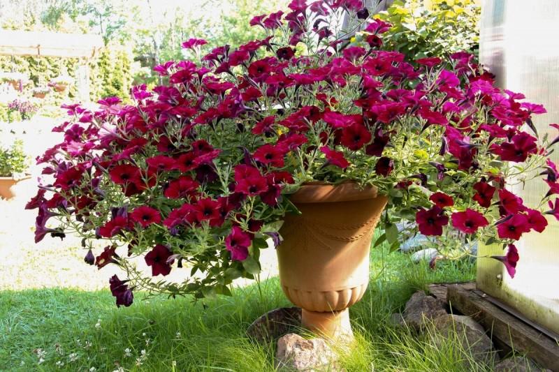 Как прищипывать рассаду петунии: простая схема - пышный цветущий куст