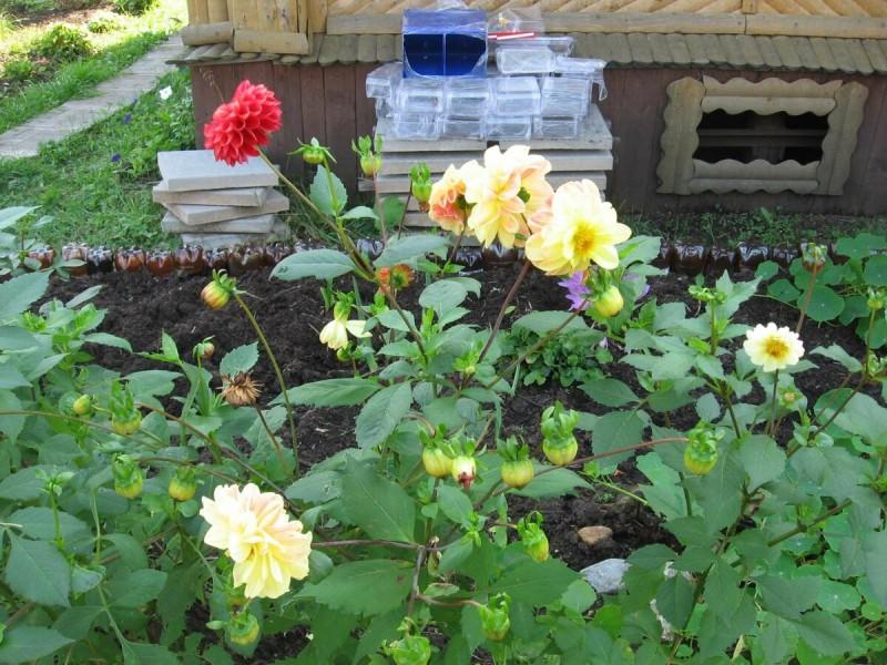 Как вырастить георгины семенами