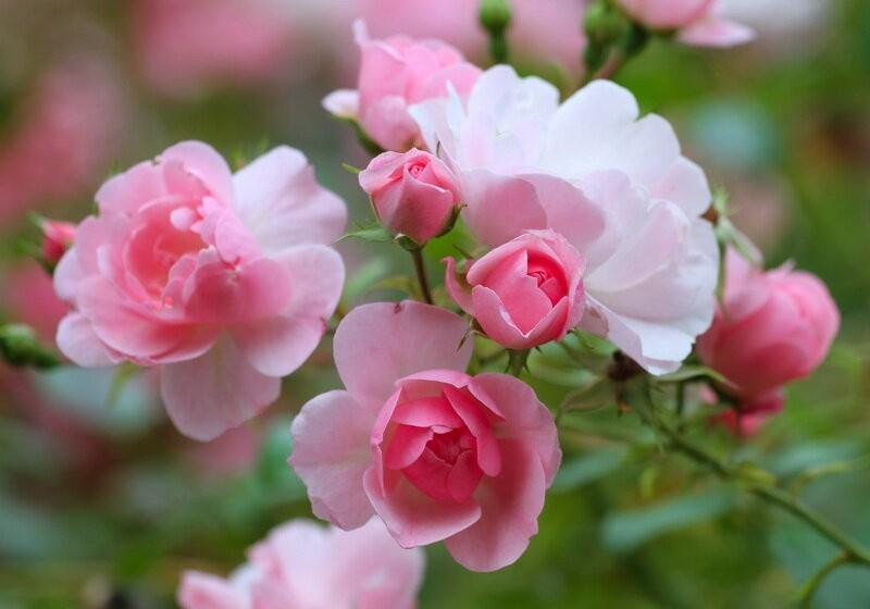 Как вырастить розу из черенка: подробная инструкция