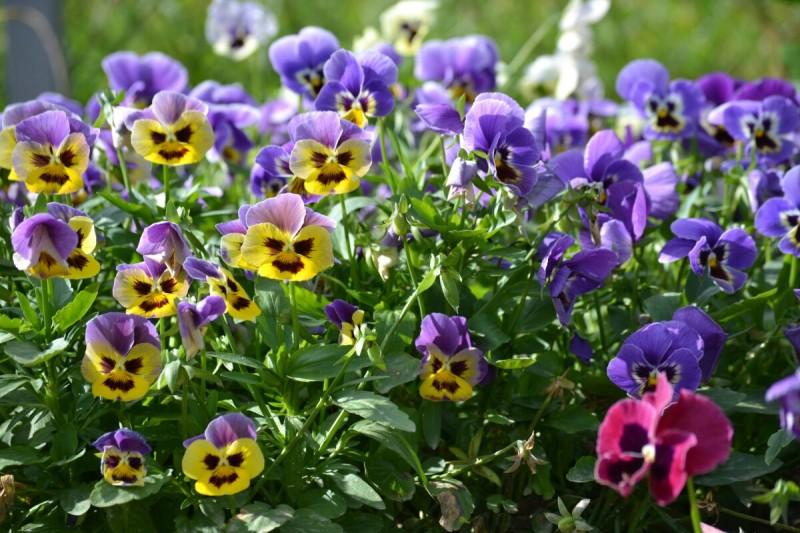 Какие Цветы я категорически Не советую сажать в Клумбы. Так они размножаются Самосевом и превращаются в сорняки