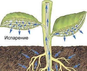 Какие деревья сажают, чтобы не откачивать яму? (Мощнейшие осушители грунта - биодренаж)