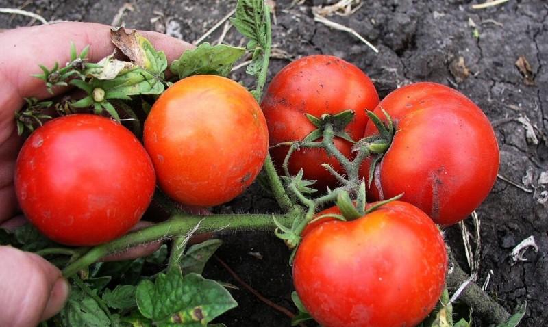 Какие Сорта Помидор можно сеять прямо в Грунт, а не выращивать Рассаду. Урожай не хуже, а вот Хлопот в разы меньше