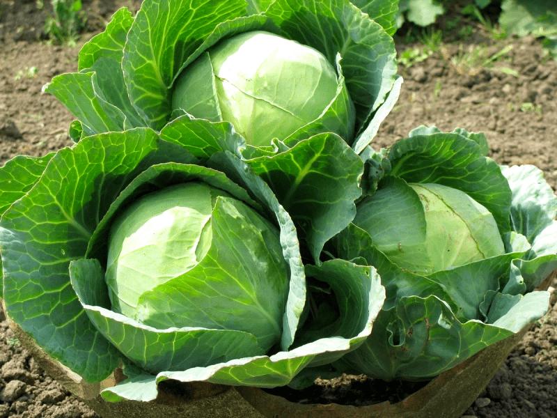 Капусту на рассаду: как правильно сеять капусту на рассаду в Марте
