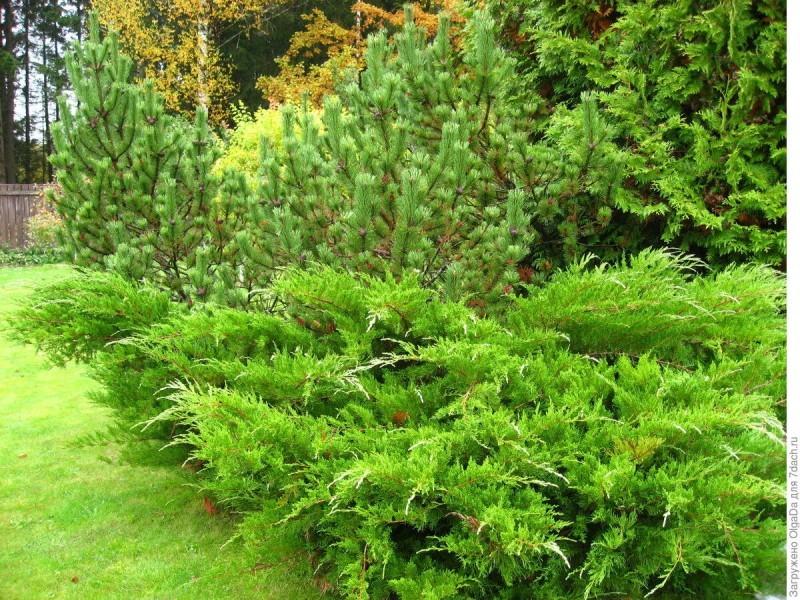 Китайский можжевельник - елочки в саду