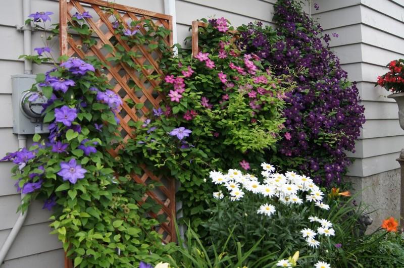 Клематис - вертикальное украшение сада