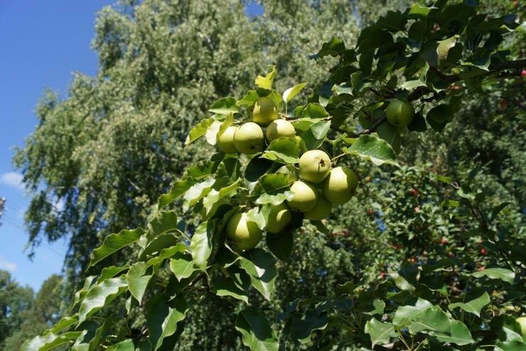Когда и как правильно посадить саженцы груши в разных регионах