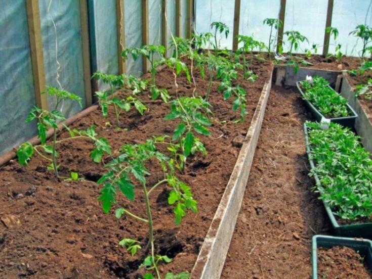 Когда высаживать помидоры в теплицу? Ориентируемся на два важных условия