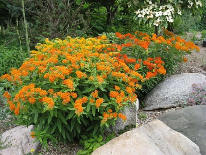 Красивый, ароматный многолетник для сада