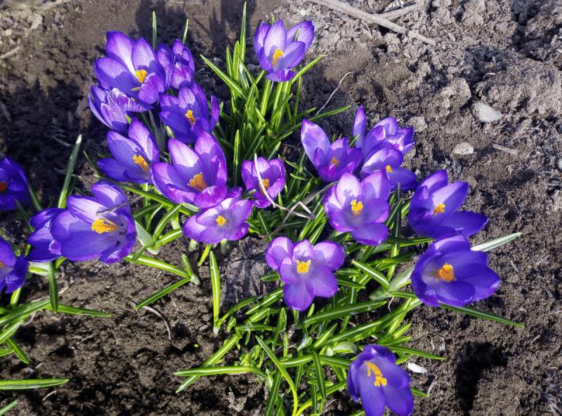 Крокусы - как вырастить самые ранние цветы в саду