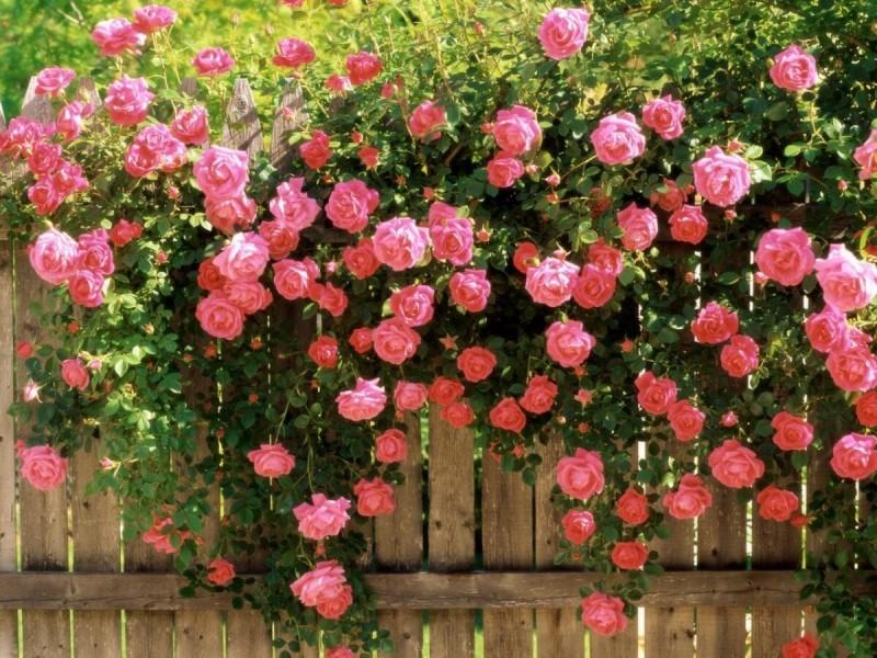 Лианы и вьющиеся растения - красота на участке