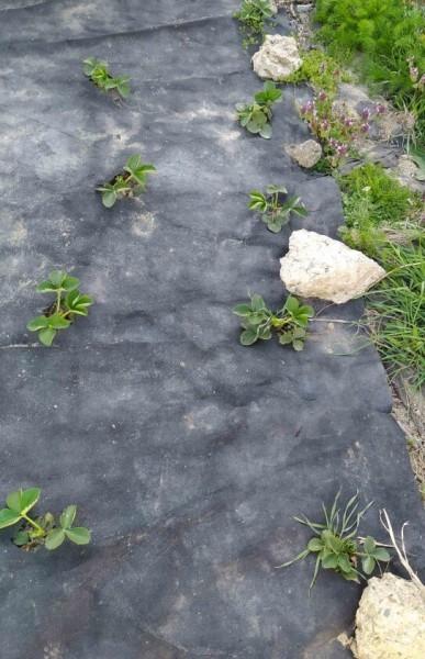 Мой личный способ крепления агроспама в саду. Чтобы не рвался и ветром не сдувало