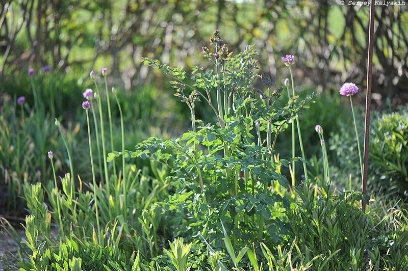Мой сад в апреле: зацвел первый клематис