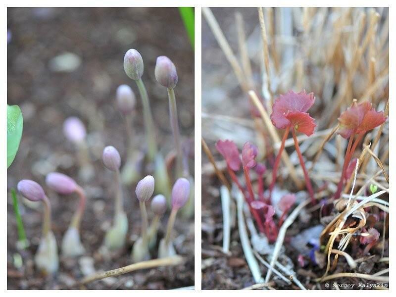 Мой сад в начале апреля: цветы и заморозки