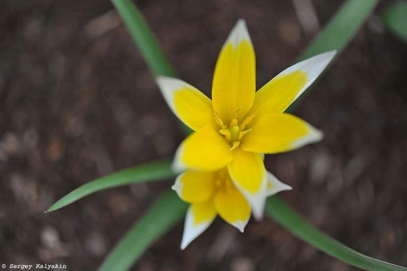 Мой сад в середине апреля: зацвели и сразу отцвели джефферсонии