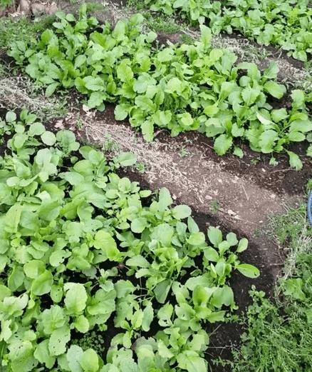 Мой способ выращивания редиса: нет стрелок, воюю с блошками, сею на второй урожай
