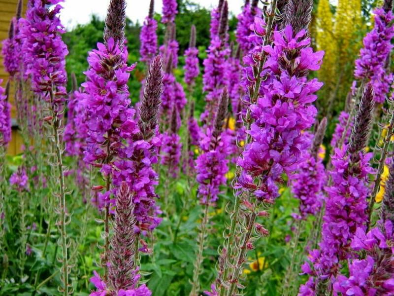 Неприхотливый многолетник, обильно цветет все лето