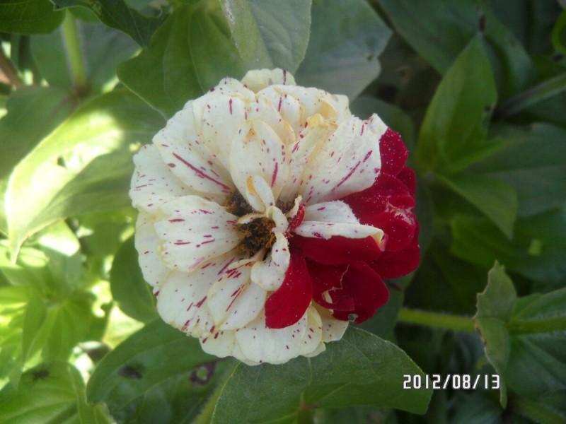 Обязательно собирайте семена у цветов - гибридов. смотрите сами, что получилось