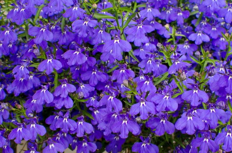 Обзор тенелюбивых цветов