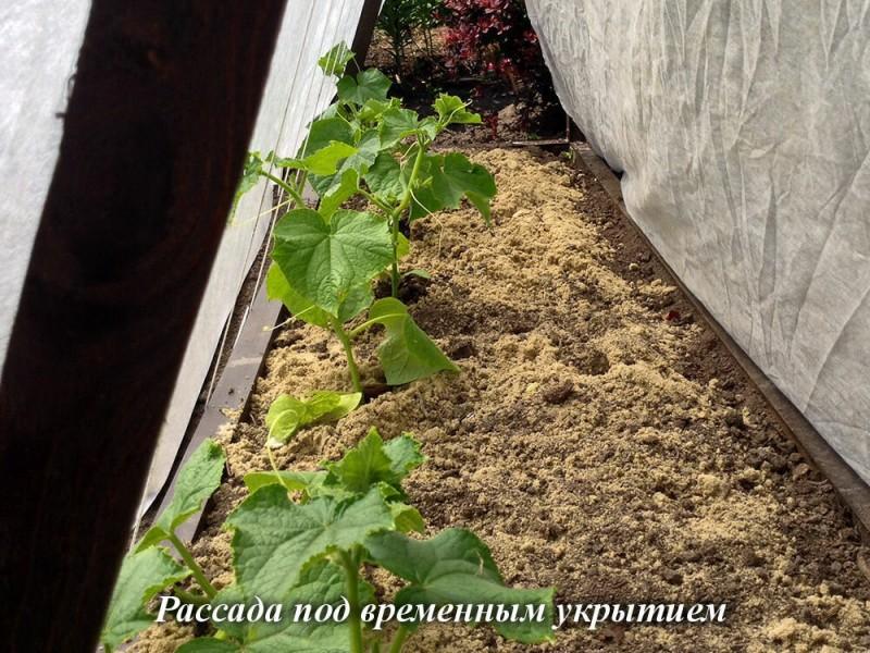 Огурцы без разочарований-3: высадка в грунт и уход