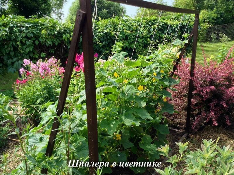 Огурцы без разочарований-4: Выращивание на опоре