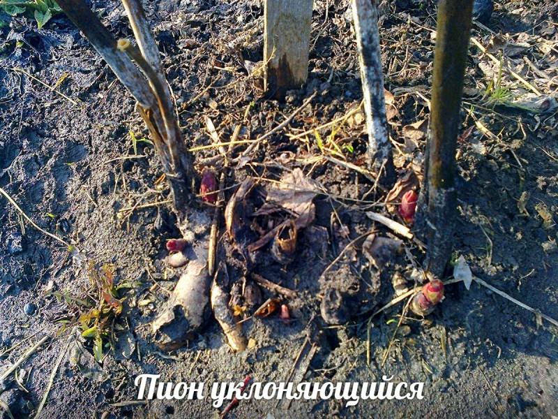 """Пион уклоняющийся """"Марьин корень""""— условия жизни в лесу и в огороде"""