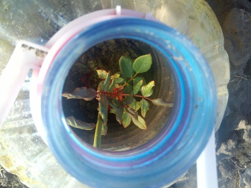 Почему черенки роз не укореняются – 5 основных ошибок, которые не стоит допускать