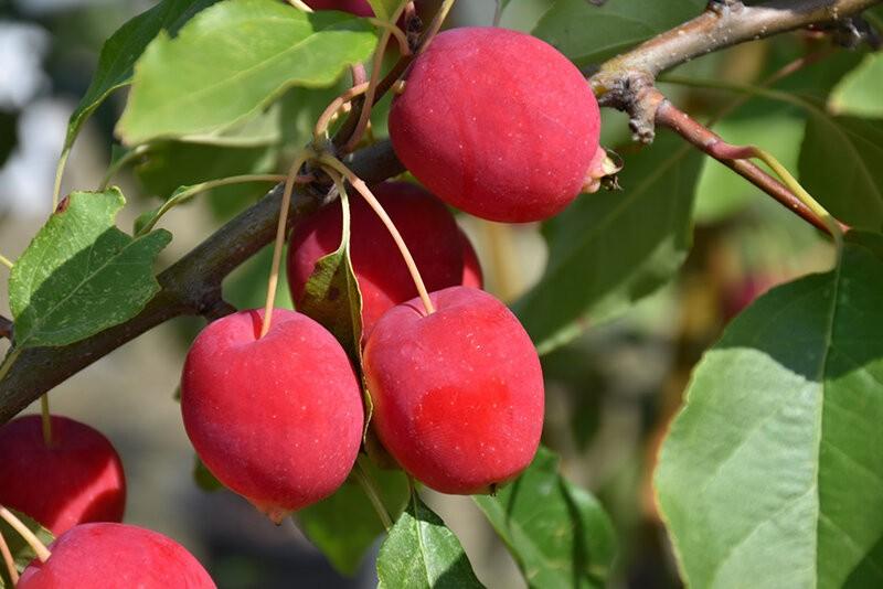 """Посадите яблоню-китайку. """"Варенье из райских яблочек"""" будет лучшим угощением к чаю!"""