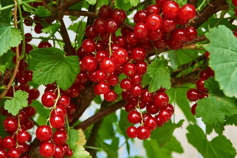 Посадка ягодников в Апреле