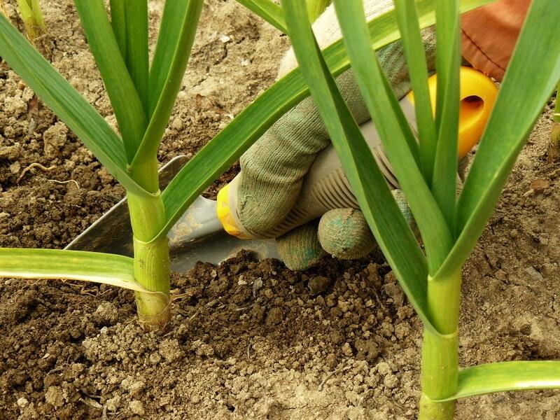 Секретный ингредиент при посадке чеснока и лука: теперь сажаю только так