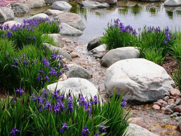 Секреты выращивая сибирских ирисов
