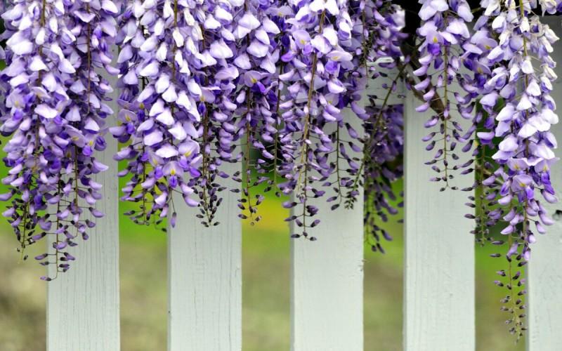 Шесть необычных растений для маскировки дачного забора. Подарите себе и соседям радость!