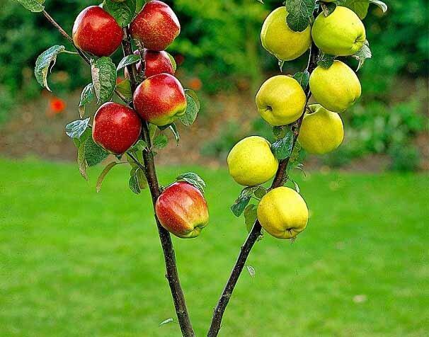 Свой подвой для прививки плодовых деревьев.