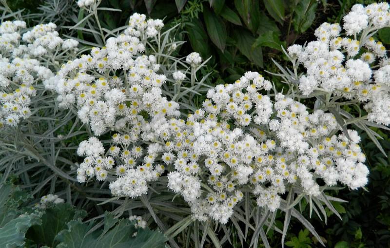 Топ-5 красивых и неприхотливых многолетников для сада в бело-серебристых тонах