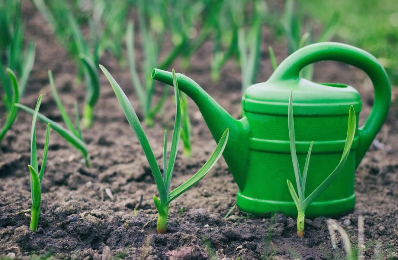 Урожайная грядка: пора подкормить чеснок!