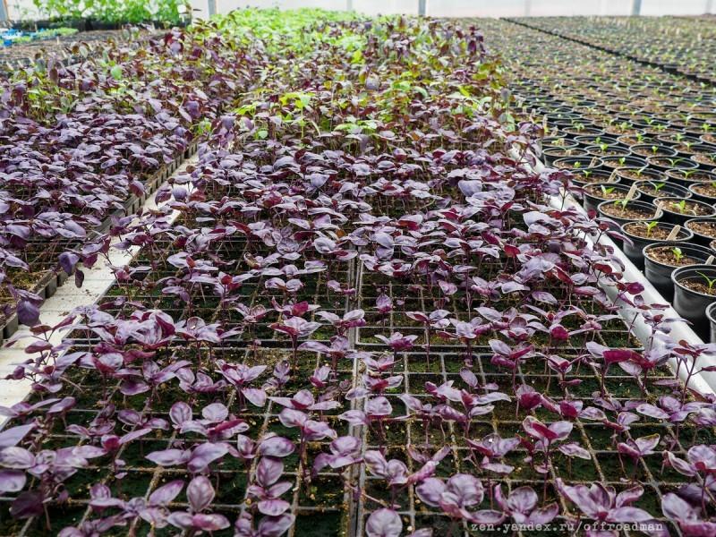 Увидел, что происходит с рассадой в теплицах ВНИИССОК. Дачникам и садоводам Одинцовского района будет полезно