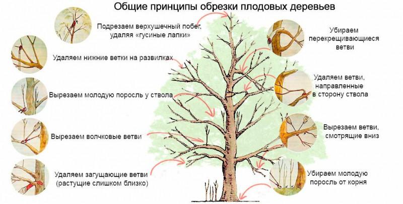 Весенняя обрезка плодовых деревьев: семь правил больших урожаев
