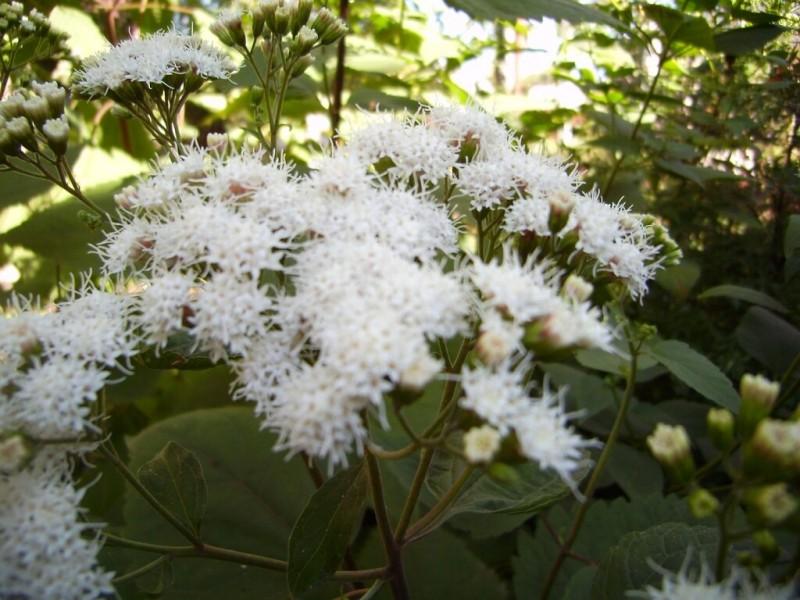 Восхитительный многолетник цветущий до осени