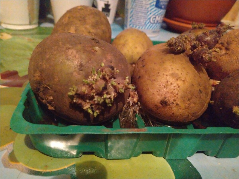 Вырастить картошку рассадой - реально?