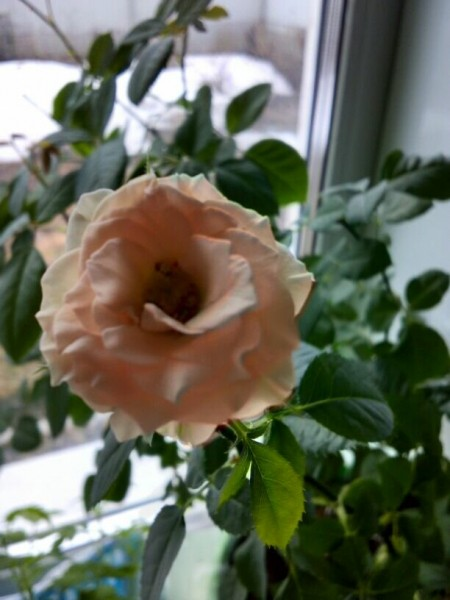 Высадила в открытый грунт саженцы роз, купленные зимой