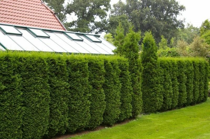 Живая изгородь на даче. Как сделать прекрасную альтернативу привычному забору.