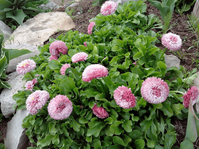 5 многолетников, которые украшают сад круглый год, и при этом я за ними не ухаживаю