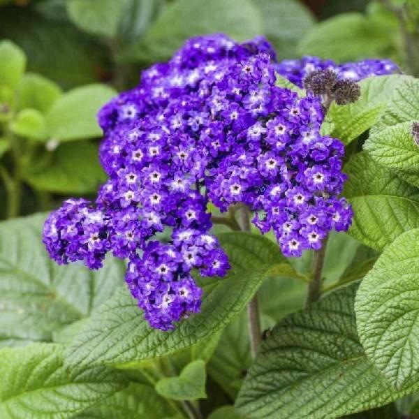7 синих как небо цветов для кашпо, которые сделают ваш сад неповторимым этим летом