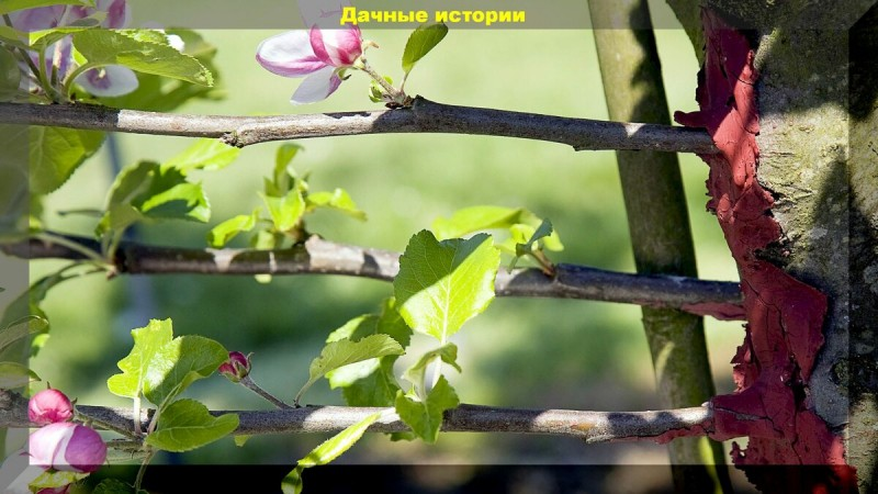 84 сорта на одном плодовом дереве, или о прививке деревьев для начинающих
