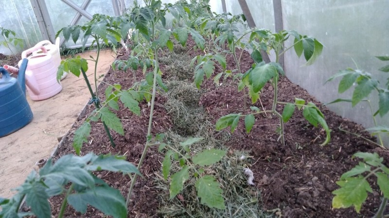 А вы знали, что нужно обрывать нижние листья после высадки помидорной рассады?