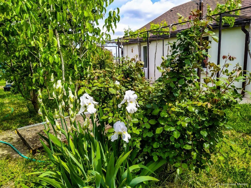 Большая прогулка по саду с цветущими ирисами и пионами