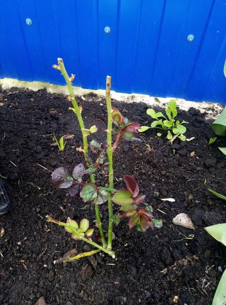 Чем побаловать розы в период роста листьев, но до фазы бутонизации?
