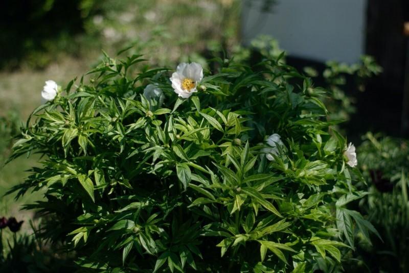 Черные тюльпаны встречаются с белыми пионами